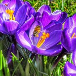 Bee in spring flowers, Zutphen, Netherlands - 3313 thumbnail