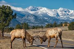 Lossening the Antlers (RkyMtnGrl) Tags: wildlife nature landscape mountains snowcapped elk bulls sparring spring march estespark drygulchroad colorado 2019