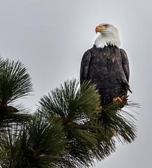 Bald eagle (TD Cole) Tags: spokane birds birdsofinstagram bird wildlife birdphotography birding raptor baldeagle idaho washington wildlifephotography naturephotography naturephoto naturelovers mothernature nature natureshot