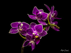 Purple orchids (Magda Banach) Tags: canon canon80d sigma150mmf28apomacrodghsm blackbackground colors flora flower macro nature orchid plants purple
