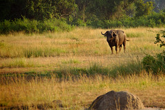 Lonely Buffalo (pbr42) Tags: africa uganda queenelizabethnationalpark nationalpark nature grass outdoor animal buffalo