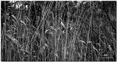 JANUARY 2019 NGM_9811_6446-1-222 (Nick and Karen Munroe) Tags: marsh marshgrass marshreeds reeds heartlakeconservationarea heartlakeconservation heartlakepark heartlake conservationarea conservation karenick23 karenick karenandnickmunroe karenandnick munroe karenmunroe karen nickandkaren nickandkarenmunroe nick nickmunroe munroenick munroedesigns photography munroephotoghrpahy munroedesignsphotography nature landscape brampton bramptonontario ontario ontariocanada outdoors canada d750 nikond750 nikon nikon2470f28 2470 2470f28 nikon2470 nikonf28 f28 blackandwhite bw blackwhite bandw monochrome mono
