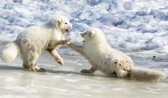 Arctic fox kits wrestling (dwb838) Tags: kits arcticfox winter playing snow ngc