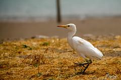 2019.03.01 (MarianDiazRAM) Tags: 2019 aves caboverde egrettaintermedia ilhadesantiago nikond5100 urbanbird viajes