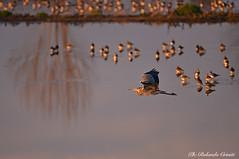 Airone cenerino _057 (Rolando CRINITI) Tags: airone aironecenerino uccelli uccello birds ornitologia avifauna racconigi palude natura