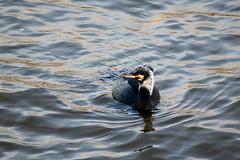 Cormorant  off the Embankment (HoosierSands) Tags: cormorant riverthames london