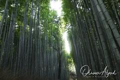 Japan19Ky_IO_1214-1 (oalard) Tags: japan japon canon 1dmkiv kyoto bamboo