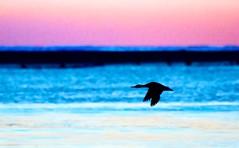 Merganser in Flight   ...EXPLORED 3-23-2019 (imageClear) Tags: bird nature bif merganser duck color dawn sunrise beauty aperture nikon d500 80400mm imageclear flickr photostream