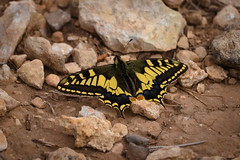 Mesmerizing Cammo (TheTomL3) Tags: butterfly mariposa papillon colors colores couleurs nature insects insectlife canon canoneos600d eos 600d naturaleza earth dust tierra sand terre