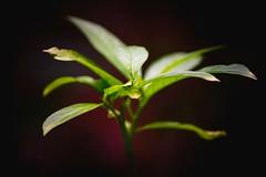 Pflanzen (yusuf.ronco) Tags: naturallight overcast bloodred nikon tamaron tamron70300 dark bokeh moodymacro moody plants pflanzen fx nikond610 macrophotography macro