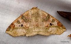 Geometer Moth, Geometridae (Ecuador Megadiverso) Tags: andreaskay ecuador geometermoth geometridae moth wildsumaco