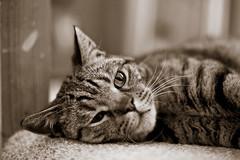 Freddie (Dan Elms Photography) Tags: bengal bengalcross cat feline stripey littletiger canon danelms danelmsphotography wwwdanelmsphotouk