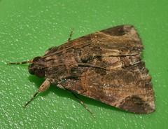 Pale sooty moth Ercheia sp Catocalinae Erebidae Airlie Beach rainforest P1480779 (Steve & Alison1) Tags: pale sooty moth ercheia sp catocalinae erebidae airlie beach rainforest