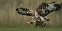 Buzzard (Wild) - Imagine if we wern't to big to be on their menu! (Ann and Chris) Tags: avian amazing awesome buzzard bird beautiful flying gliding hunting hunt hawk impressive incoming majestic raptor stunning wildlife wild wings