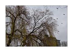 winter in Berlin (Armin Fuchs) Tags: arminfuchs berlin tempelhoferufer tree birds winter niftyfifty crows