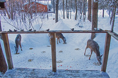 Feed them and they will come! (Deer behaviour) ((nature_photonutt) Sue) Tags: deerfeeding ouryard ironbridgeontariocanada