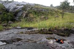 Mantella cowani, Cowan's Mantella, in habitat, Madagascar. (Brad Wilson, DVM) Tags: mantellacowani mantella mantellidae criticallyendengered iucncriticallyendangered frog amphibian cowansmantella madagascar