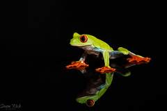 As I sit here and reflect..... (Simon Rich Photography) Tags: tree frog reptile nature reflection cute tiny amphibian wildlife domestic animal simonrich simonrichphotography mrmonts canon