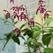 Schomburgkia undulata  ションバーグキア・ウンデュラタ