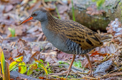 DSC5099  Water Rail.. (Jeff Lack Wildlife&Nature) Tags: waterrail rails birds avian animal animals wildlife wildbirds waterbirds wetlands waterways wildlifephotography jefflackphotography reservoirs reeds reedbeds lakes ponds marshland marshes canals estuaries estuary countryside nature