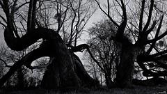 Les vieux de la vielle (Un jour en France) Tags: arbre tree canoneos6dmarkii canonef1635mmf28liiusm noiretblancfrance noiretblanc monochrome