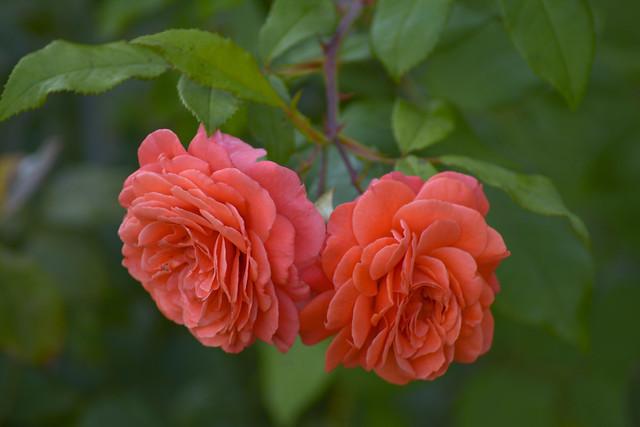 Обои макро, розы, дуэт картинки на рабочий стол, раздел цветы - скачать
