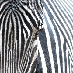 Animal Portraits - Stripes (KWPashuk (Thanks for >3M views)) Tags: nikon d7200 tamron tamron18400mm lightroom luminar2018 luminar luminar3 kwpashuk kevinpashuk zebra animal portrait wildlife outdoors toronto zoo ontario canada torontozoo nature