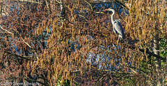 Heron perched high in the winter trees (pootlepod) Tags: canon wildlife heron behaviours neckspinning perched waiting winter lake clennonvalley clennon lakes trees drying nature moment living life raw natural animals birds predation tree branches catkins pussywillow birch feather legs feamle male species 7d mkii habitat