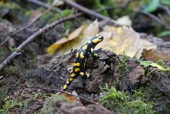 Feuersalamander (Aah-Yeah) Tags: feuersalamander salamander salamandra caudata schwanzlurche lurch achental chiemgau bayern