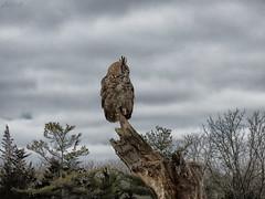 Oliver Great Horned Owl CRC IMG_4639 (Jennz World) Tags: ©jennifermlivick canadianraptorconservancy vittoria ontario canada greathornedowl owl raptor