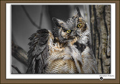 Great Horned Owl / Grand-duc d'Amérique / Bubo virginianus (FRITSCHI PHOTOGRAPHY) Tags: greathornedowl grandducdamérique bubovirginianus concoursuqrop2018