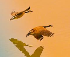 Golden. (Omygodtom) Tags: golden gold geese bird reflections wildlife d7000 dof nikon70300mmvrlens flickriver abstract art scene