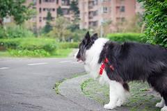20190214_Coin每日散步 (2) (inmonkey62) Tags: coin border collie bordercollie flying discdog dog 狗 犬 pentax k3 sigma 70300mm f456