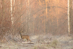 Brocard (Manon Camille) Tags: doe chevreuil forêt forest foret ambiance mood forestmood bosque bois animal animale nature naturaleza natur natura wood matin winter hiver foresta mattina morning morningmood
