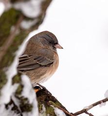 Junco (Lynn Tweedie) Tags: wood junco white winter 7dmarkii feathers snow eye sigma150600mmf563dgoshsm eos beak bird canon missouri ngc animal