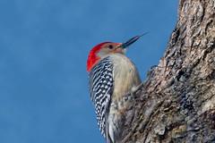 NeedleTongue (jmishefske) Tags: male nikon tongue redbellied woodpecker d500 february 2019 tree