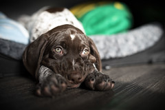 Tater (DustinGinetz.Photography) Tags: gsp german short haired pointer cute small puppy pupper little paws tired play