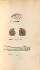 n60_w1150 (BioDivLibrary) Tags: greatbritain mollusks museumsvictoria bhl:page=57640231 dc:identifier=httpsbiodiversitylibraryorgpage57640231 conchologicaldictionary conchology shells britishisles britishislands williamturton british