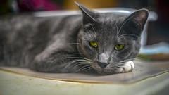 Tank1 (Ke7dbx) Tags: cat cats kitty kittycat pet pets anima animalphotography cute sony sonya7 a7 mirrorless fullframe