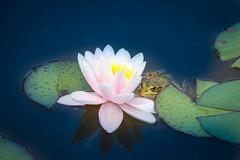 Fauna_Flora_8730 (Lothar Heller) Tags: lotharheller nymphaea fauna flora frog frosch pflanze seerose teich teichpflanze