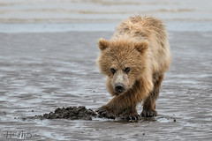 _HB31583 (Hilary Bralove) Tags: lakeclarknationalparkbrownbearsbearsalaskanikonwildlifegrizzlygrizzlybearbrownbearanimalswildlifephotographerbearcub alaksa brownbears grizzlybears bear bears grizzly brownbeargrizzly bearlake clarkwildlifealaska wildlifenikonlake clark national park