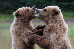 _HB30537 (Hilary Bralove) Tags: lakeclarknationalparkbrownbearsbearsalaskanikonwildlifegrizzlygrizzlybearbrownbearanimalswildlifephotographer alaksa brownbears grizzlybears bear bears grizzly brownbeargrizzly bearlake clarkwildlifealaska wildlifenikonlake clark national park