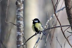 Rasvatihane. Parus major (Jaan Keinaste) Tags: pentax k3 pentaxk3 eesti estonia elusloodus lind bird fauna rasvatihane parusmajor greattit