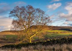 Fleeting light (Donard850) Tags: banniscue northyorkmoors tree wall drystone hills farm clouds