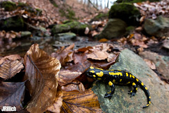 Fire salamander, Salamandra salamandra @ Thüringen 2019 (Jan Rillich) Tags: feuersalamander firesalamander amphibians salamander yellowspots salamandrasalamandra salamandra thüringen march märz 0203 sigmafisheyedg15mmf28 sigma15mmf28exdgdiagonalfisheye wideangle weitwinkel funny fisheye fischauge rillich janrillich canon canon5d jan photo foto picture photography fotografie eos digital wildlife animal nature beautiful beauty sunny sun fauna flora free animalphotography image urban urbannature