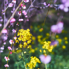 Flowers and bee 愛媛 砥部町 七折梅園3 09 2019 2 (tsake123) Tags: sony alpha a7 alpha7 flower sel55f18z spring bee japan