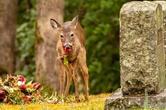 Grave Robber (Ronda Hamm) Tags: 100400mkii 7dii cadescove greatsmokymountainsnationalpark nationalpark whitetaileddeer animal canon cementary deer eating graveyard mammal nature rose wildlife