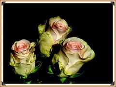 """Z albumu """"Róże"""" (andrzejskałuba) Tags: poland polska pieszyce dolnyśląsk silesia sudety europe panasonicdmcfz200 lumix plant plants roślina rośliny różowy pink yellow żółty zieleń green garden ogród natura nature natural natureshot natureworld rose róża kwiat flower kwiaty flora floral flowers color cień shadow beautiful macro czarny black 100v10f 1000v40f 1500v60f"""