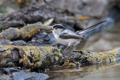 Codibugnolo (Marcello Giardinazzo) Tags: codibugnolo avifauna natura wild uccelli birds