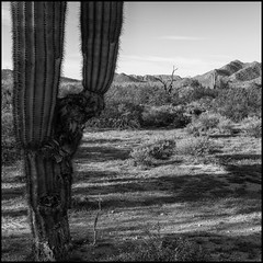 Rejuvenation (greenschist) Tags: usa sonorandesert mountains blackwhite arizona saguaro pinalcounty carnegieagigantea santanmountainregionalpark